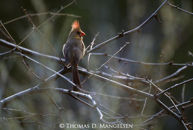 2508  Creekside - Female Cardinal (Cardinalis cardinalis) Southeast, AZ..#PRINT-2508.00