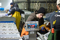 Matt Parker, 19, (center) and others sort live lobsters by size and weight at Island Seafood's receiving facility in Eliot, Maine, USA, on Wed., Jan. 31, 2018. Lobsters are sorted into similar sizes and then moved to a packing facility to be shipped to customers around the world.