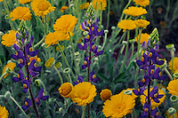 Big Bend bluebonnet and desert marigold<br />