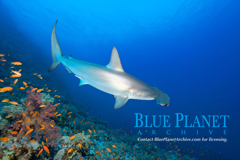 Scalloped Hammerhead (Sphyrna lewini) floats over coral reef, Red Sea, Egypt, Africa