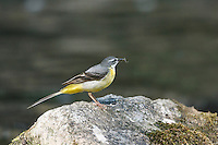 Grey Wagtail Motacilla cinerea Length 18cm. Elegant waterside bird. Strikingly long tail is continually pumped up and down. Sexes are dissimilar. Adult male in summer has blue-grey upperparts and lemon-yellow underparts. Note black bib, white sub-moustachial stripe and white supercilium. Bill is dark, legs are reddish and outer tail feathers are white. Adult female in summer is similar but bib is whitish and variably marked with grey while underparts are paler with yellow colour confined mainly to vent. Winter adults and juveniles are similar to respective summer plumages but with white throats. Voice Utters a sharp chsee-tsit call in flight. Status Favours fast-flowing stony streams and rivers; commonest in N and W.