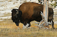 American Bison, Bison bison, Yellowstone National Park, Wyoming, USA