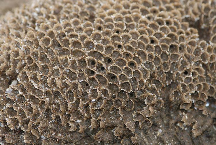 Honeycomb Worm - Sabellaria alveolata