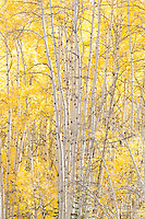 Aspens on Kebler Pass Road