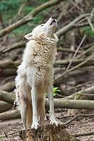 Arctic Wolf (Canis lupus arctos) captive, howling