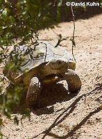 0609-1030  Desert Tortoise (Mojave Desert), Gopherus agassizii  © David Kuhn/Dwight Kuhn Photography