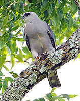 Mississippi kite immature
