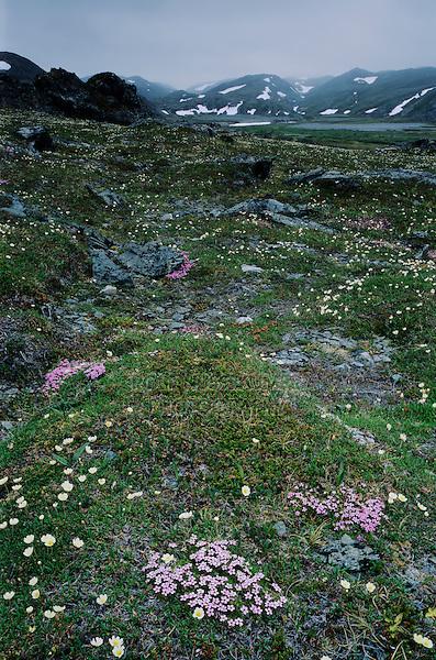 Wildflowers blooming in tundra, Varanger peninsula, Norway, Europe