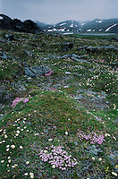 Wildflowers blooming in tundra, Varanger peninsula, Norway, Europe