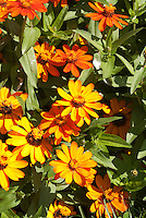 Zinnia 'Profusion Orange' summer annual flowers