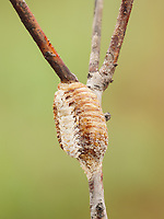 A Carolina Mantis (Stagmomantis carolina) oothecha (egg mass) attached to vegetation.