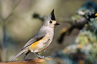 Black-crested Titmouse or Mexican Titmouse (Baeolophus atricristatus).  Texas.