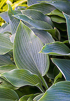 Hosta (Tardiana Group) 'Harmony' , Hosta leaf silver gray foliage, shade garden perennial plant
