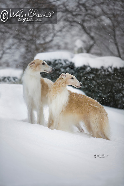 Borzoi pair in the snow Shopping cart has 3 Tabs:<br /> <br /> 1) Rights-Managed downloads for Commercial Use<br /> <br /> 2) Print sizes from wallet to 20x30<br /> <br /> 3) Merchandise items like T-shirts and refrigerator magnets