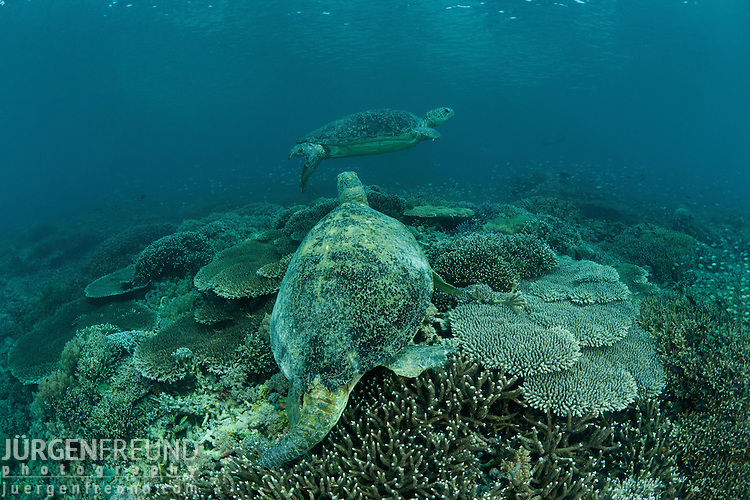 Male green sea turtle (Chelonia mydas) in the reef.
