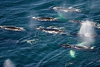 aerial view of adult humpback whales, Megaptera novaeangliae, preparing to dive, order to cooperatively 'bubble-net' feed, Alaska, USA, Pacific Ocean Note the expanded ventral pleats as well as the baleen hanging from the upper jaws,