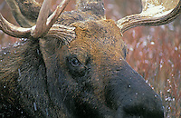 Moose bull in snow..Winter. Rocky Mountains..(Alces alces).
