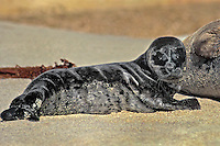 677882009 a two day old baby harbor seal on the beach in la jolla cove san diego county california