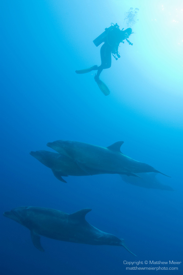 The Boiler dive site, San Benedicto Island, Revillagigedos Islands, Mexico; Pacific Bottlenose Dolphin (Tursiops truncatus gilli) swimming together below a scuba diver under the water , Copyright © Matthew Meier, matthewmeierphoto.com All Rights Reserved