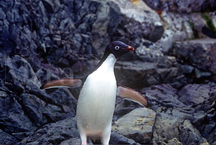 Adelie Penguin Antartica