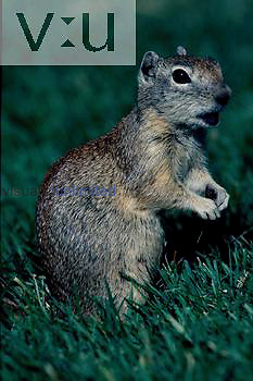 A Belding Ground Squirrel.