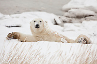 Polar Bear stretching after a nap