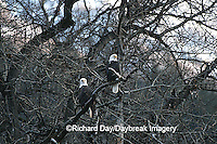 00807-023.15 Bald eagles (Haliaeetus leucocephalus) in tree Chilkat River, Haines   AK