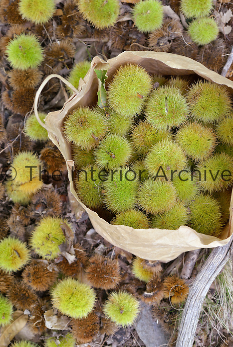 Fallen chestnuts are collected in an old paper bag