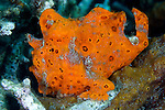 Antennarius pictus, Painted frogfish, Lembeh, Indonesia