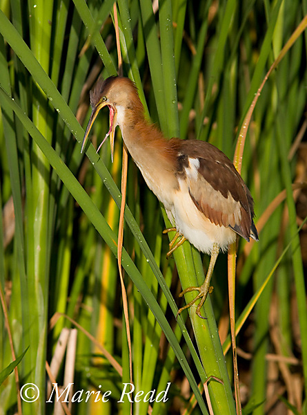 Least Bittern (Ixobrychus exilis), adult female, yawning, showing the structure of its tongue, Perch River Wildlife Management Area, New York, USA