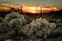 Teddy Bear Chollas and Suguaros after sunset at Lost Dutchman State Park in the Superstition Mountains near Phoenix, Arizona