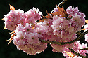 Ornamental cherry (Prunus 'Kanzan') in flower, late April.