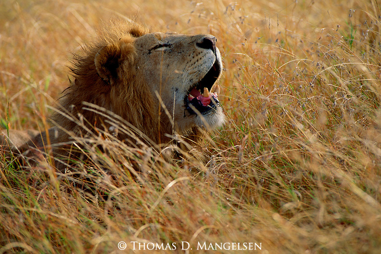 The scarred face and broken teeth of this old male lion tell the tale of many encounters on the African savannah on the Maasai Mara Game Reserve in Kenya.