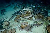Triaenodon obesus, Weissspitzen Riffhaie schlafend am Meeresboden, Whitetip reef sharks sleeping on the sea floor, Insel Cocos, Costa Rica, Pazifik, Pazifischer Ozean, Cocos Island, Costa Rica, Pacific Ocean