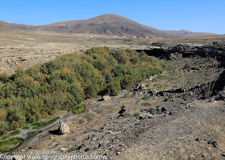 Vegetation growing in bottom of seasonal watercourse valley, near Paraja, Fuerteventura, Canary Islands, Spain