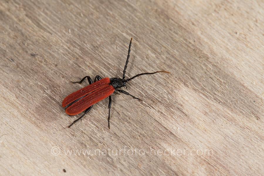 Rotdeckenkäfer, Platycis minutus, Stunning beetle, net-winged beetle, Black-neck Lycus, Rotdeckenkäfer, Lycidae, net-winged beetles