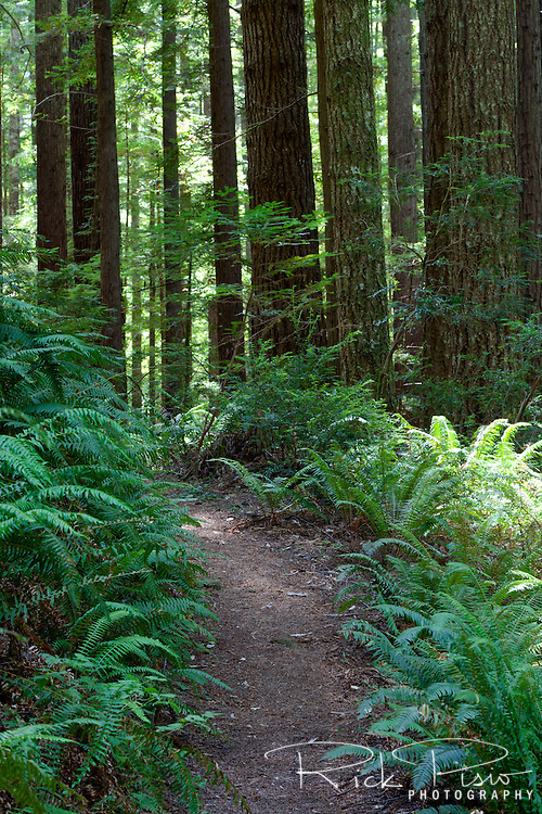 Redwoods, Douglas Fir, and ferns line the trail at Oregon Redwoods Trail in the Siskiyou National Forest near Brookings, Oregon.