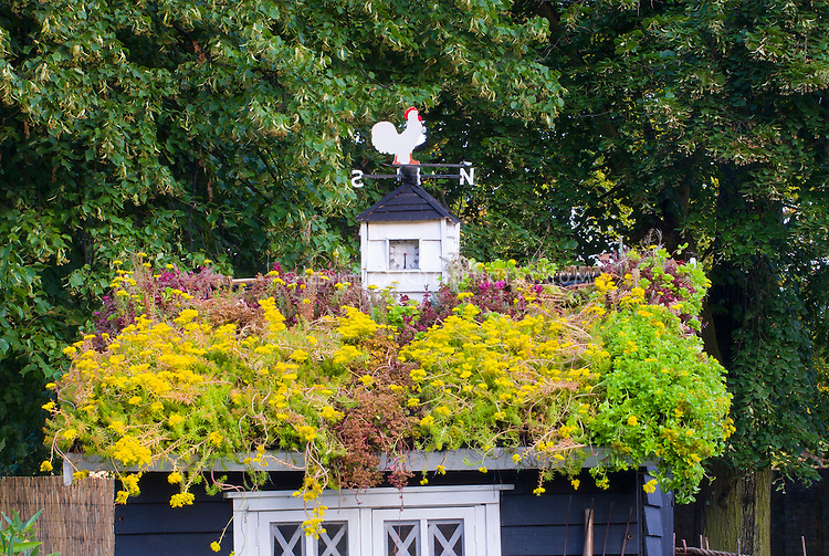 Rooftop garden with sempervivums and sedum succulent plants on top of shed barn with steeple clock and chicken rooster bird weathervane, green rooftop