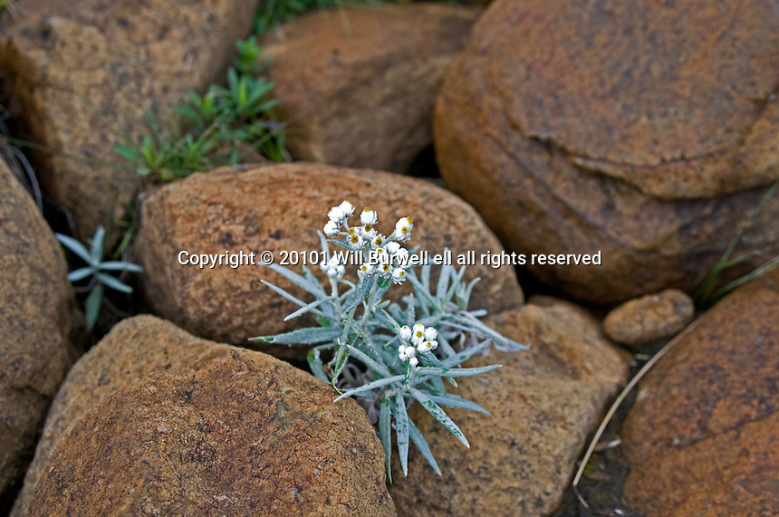 White flowers in the rocks on the Tablelands