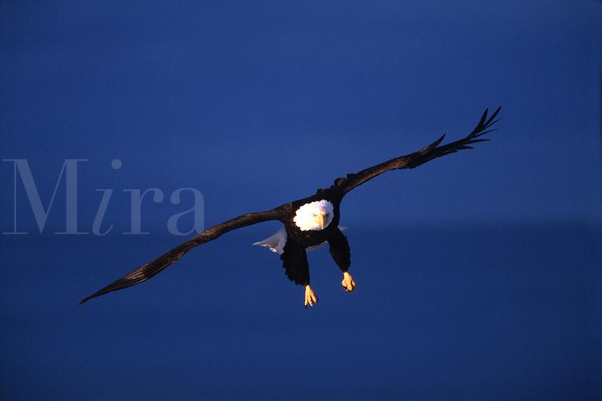 A Bald eagle (Haliaeetus leucocephalus) in flight as it prepares to land.