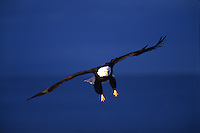 A Bald eagle (Haliaeetus leucocephalus) in flight as it prepares to land.