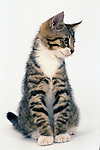 Domestic Cat, Kitten, 14 weeks old, Tabby & White,  sitting, white background, cut out, pet