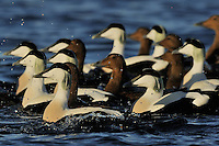 Eurasian eider duck males and females, Somateria molissima, Tana River mouth, Varanger Peninsula, Norway, Scandinavia