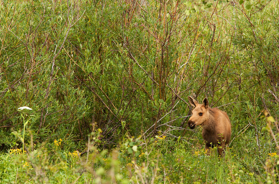 A yearling moose is seen feeding on the branches and grasses near the forest in Glacier National Park, Montana.