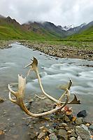 Bull caribou antlers along mountain stream in Denali National Park, Interior, Alaska.