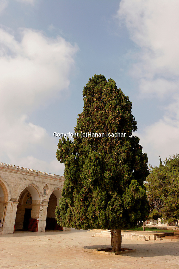 Israel, Jerusalem. Cypress trees on Temple Mount