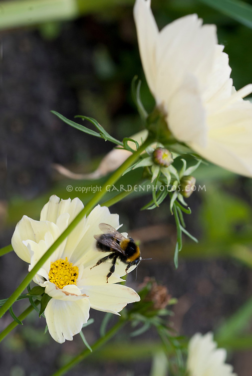 Cosmos bipinnatus 'Xanthos' yellow flowered half hardy annual with bee insect pollinator