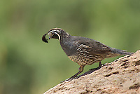 574450004 a wild male california quail callipepla californica perches on a large rock near chalk bluffs road inyo county california united states