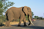 Elephant bull, Loxodonta africana, 'tusker' crossing tourist road, Kruger national park, South Africa
