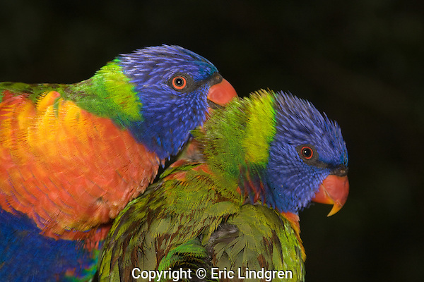 Close up of a pair of Rainbow Lorikeets reveals the beauty of an unusual combination of colours - blue, green, yellow, orange. The iris, a narrow brown ring surrounding the pupil and bright orange-red around this, is used in mating and threat displays. The brown feather colour is the result of water filling micro-structures on the barbs and changing the qualities of reflected light.  // Rainbow Lorikeet - Psittacidae: Trichoglossus haematodus. Length to 30cm; wingspan to 45cm; weight to 150g; Found in northern and eastern Australia from the Kimberley Region in northern Western Australia (Red-collared Lorikeet, T. h. rubritorquis) to eastern South Australia. Occurs in forests, woodlands, heath, and rural and urban areas. Aviary-escapees are established in many towns and cities. Widespread with many subpsecies - often with a different name - from eastern Indonesia (Maluku=Molucca Islands) through New Guinea east to Vanuatu and New Caledonia in the south-west Pacific, north through Manus and the Admiralty Islands to the Philippine Islands (this may be a separate sepcies - the taxonomy of the group is yet to be finalised)  //